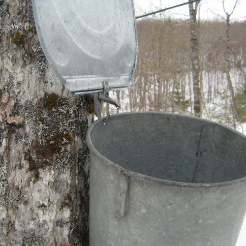 Tapping Maple Trees With Buckets