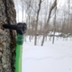 Tapped Maple Tree and Maple Syrup Production