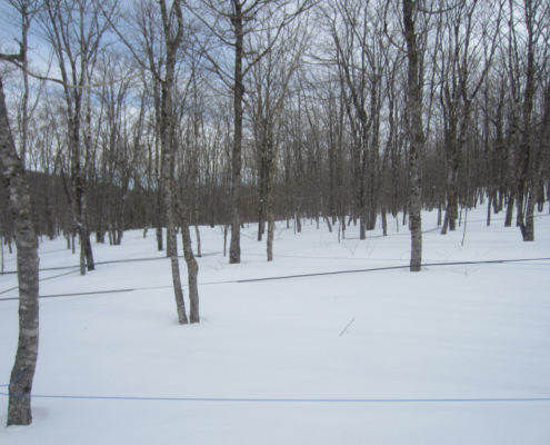 Maple Sap Lines Buried In Snow