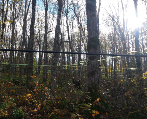 Maple Tree Stand And Syrup Lines