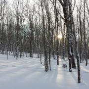 Sunset Through Maple Trees